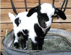 Little baby black and white goat. So unbelievably, indescribably, freakishly adorable!!