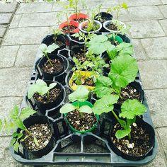 Pinを追加しました!/苗屋かぃ!(゜゜;)\(--;) こちらは、青梅の自然農で 育てて貰います。 発芽率80%くらいあった #トマト、大小、#あきる野きゅうり、#ズッキーニ #urbanpermaculture #gardenfarm  #家庭菜園
