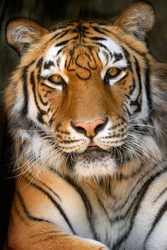Tiger with LSU letters