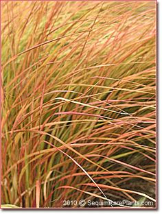 Anemanthele lessoniana at Sequim Rare Plants Mail Order Nursery Woodland Room, Small Entry, Seattle Homes, Brown Flowers, Famous Daves, Rare Plants, Ornamental Grasses, Mid Century House, Pheasant
