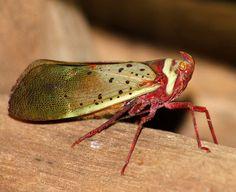 Fulgorid planthopper (Copidocephala guttata)