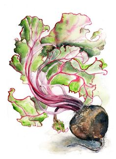Beetroot Study III by Amy Holliday, via Flickr
