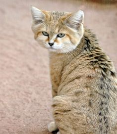 arabian sand cat..............beautiful!