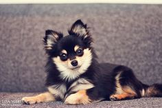 Pomchi (Pomeranian/Chihuahua)... such beautiful coloring.