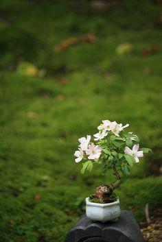 """Bean bonsai rose ballerina"""