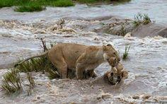 L'incredibile coraggio della leonessa che salva il suo cucciolo dalle inondazioni.