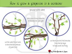 How-to-grow-a-grapevine-in-a-container-6