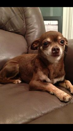 4-5 year old tiny male chihuahua - appears purebred. About 5 lbs. Chicago Animal Control had affected him more than most I've rescued. He's a lover once he's comfortable with you. Could probably have another dog in the house, but he seems like he...