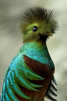 This is the Resplendent Quetzal. The Resplendent Quetzal was considered sacred to the Mayans - so sacred, in fact, that the punishment for killing a Quetzal was death.