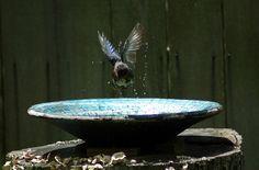 eastern blue bird taking a bath - his way....