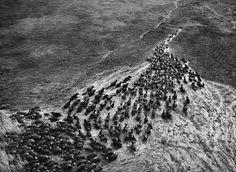 Sebastião Salgado - Projeto Gênesis. Manada de búfalos selvagens na região de Kafue, no Zâmbia, África.