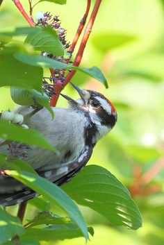 Woodpecker. Flickr
