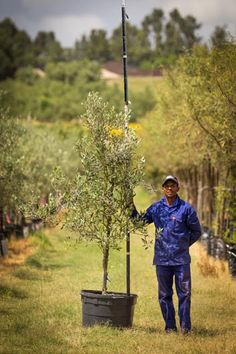 100L Olea europaea. The fast-growing Mission Olive is beautiful tree that works well as an ornamental addition to any garden. It is also drought-resistant and tolerates wind well