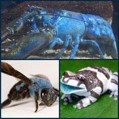 #Nature my way #blue #lobster #bee and #Frog ...