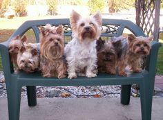 The yorkie 6-pack. Yorkies of the Day - 09/06/12