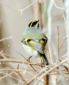 Feathers of the golden-crowned Kinglet #birds