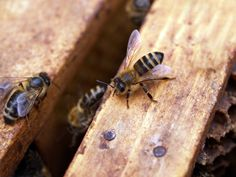 Berkeley Springs Honey LLC offers local Berkeley Springs West Virginia raw honey, honey products, beeswax, and education about honeybees and beekeeping.