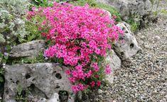 Der für den Steingarten geeignete Polster-Phlox: Phlox douglasii 'Crackerjack'