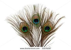 "AOL Image Search result for ""http://image.shutterstock.com/display_pic_with_logo/101102/101102,1247483927,1/stock-photo-beautiful-peacock-feathers-showing-the-eye-of-the-feather-33578287.jpg"""