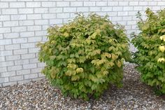 Dwarf Burning Bush produces bright red leaves in the fall. This compact shrub only grows to a height of five feet. Works best in sun areas. Landscaping Shrubs, Outdoor Landscaping, Outdoor Plants, Front Yard Landscaping, Landscaping Ideas, Outdoor Spaces, Garden Trees, Lawn And Garden, Burning Bush Shrub