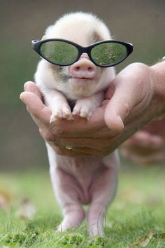These TINY pigs are too cute! Did some googling and found out that ALL tiny pigs grow up to be really BIG & FAT! That's too bad 'cos they are just too adorable for words! Cute Baby Pigs, Cute Piglets, Baby Animals Super Cute, Cute Little Animals, Cute Funny Animals, Baby Piglets, Funny Looking Animals, Mini Piglets, Baby Animals Pictures