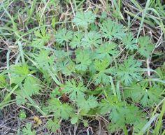 Wild Geranium: Weed Identification