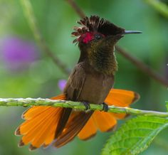 Image result for ruby-topaz hummingbird