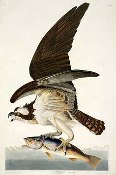 Osprey, Pandion haliaetus by John James Audubon. Hand-coloured engraving from The Birds of America, 1827-30 | © Natural History Museum