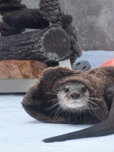 Otter is trying to win a game of hide and seek. Source: https://twitter.com/parus_mnr/status/632918136086355968