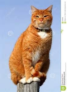 yellow tabby - - Yahoo Image Search Results