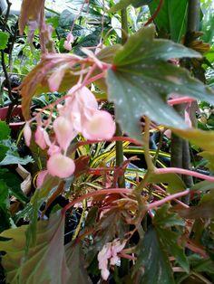 Begonia.....