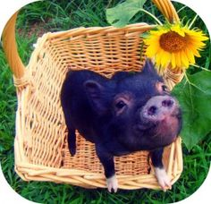 Will our perky piglet Petunia pick a peck of pickled peppers? Picky piggies prefer pecans and peaches, prepared in a pastry or pie. Tiny Pigs, Pet Pigs, Small Pigs, Animals And Pets, Baby Animals, Cute Animals, Teacup Pigs, Cute Piggies, Little Pigs