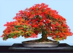 "Delonix regia bonsai, a species of flowering plant in the bean family Fabaceae, subfamily Caesalpinioideae. In many tropical parts of the world it is grown as an ornamental tree and in English it is given the name royal poinciana or flamboyant. It is also one of several trees known as ""flame tree"""