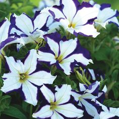 Petunia 'Crazytunia Starlight Blue'                                                                                                                                                                                 More