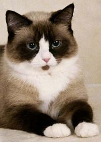 """20 races de chats les plus affectueuses au monde - """"Curiosity Killed the Colourful Cat Connoisseur? Cute Cats And Kittens, Cool Cats, Kittens Cutest, Funny Kittens, White Kittens, Black Cats, Pretty Cats, Beautiful Cats, Animals Beautiful"""