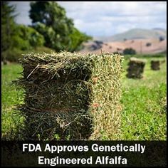 A retired professor, Dr. Don Huber, has called for an immediate moratorium on any approvals of Roundup Ready crops. Despite his warning, however, the USDA fully deregulated Monsanto's Roundup Ready alfalfa Jan. 27 following nearly five years of court battles with environmental groups and farmers. http://www.naturalnews.com/039387_USDA_GM_alfalfa_pathogens.html