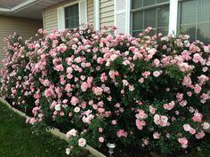 Bonica roses!!