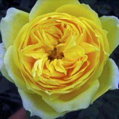 #Toulouse Lautrec.  Order them online @ www.parfumflowercompany.com or go visit your florist.