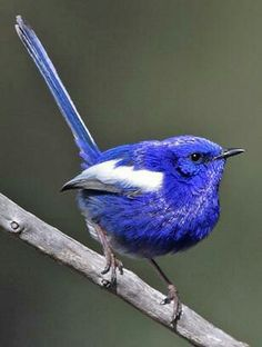 White-winged fairy wren