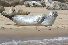 Animaux -Mammifères marins: Phoque - Frawsy