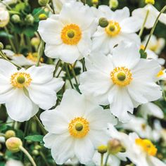 The 2016 Perennial Plant of the Year, Honorine Jobert Japanese Anemone has elegant white daisylike flowers and dark green foliage. It's deer resistant and easy to grow.