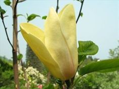 Magnolia Sunspire Sloped Garden, Magnolia Trees, Garden Plants, Garden Ideas, Gardening, Bud, Magnolias, Lawn And Garden, Landscaping Ideas