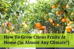 How To Grow Citrus Fruits At Home - In Almost Any Climate