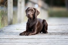 Labrador Retriever, Dogs, Animals, Labrador Retrievers, Animales, Animaux, Pet Dogs, Doggies, Animal