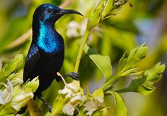 Purple Sunbird Male A Bird Video..