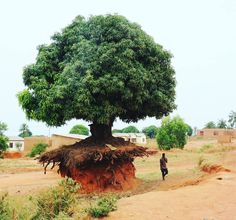 Un arbre en Tanzanie