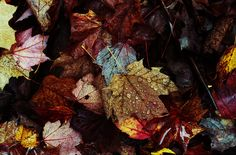 sodden fall leaves, beautiful colors, patterns, memories of long past sun-filled moments...