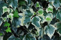 Types of Ivy Types Of Ivy, Types Of Plants, English Ivy Plant, Ivy Plant Indoor, Mandevilla Vine, Evergreen Vines, Hoya Plants, Hydroponic Plants, Mother Plant