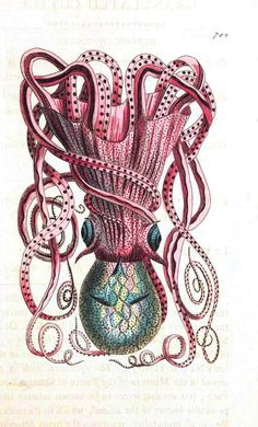 Animal - Octopus - Spotted octopus 18th C  Printable VIntage Domain free site