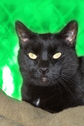 Adopted! Bunny is an adoptable Domestic Short Hair-Black Cat in Spring Lake, NJ. Bunny lived with her five sisters in a lovely home until her elderly Mom passed away. A kind caretaker called us and asked if w...